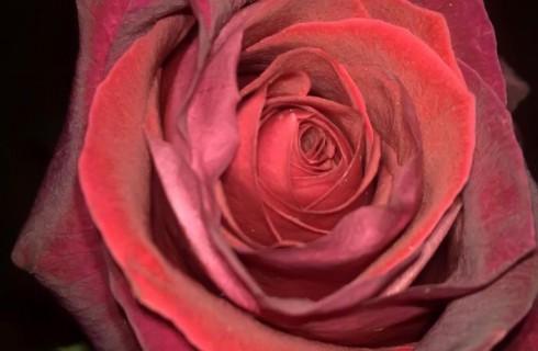 Съедобные розы Эквадора