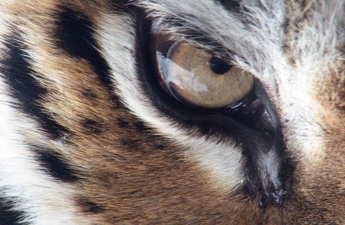 В честь тигра