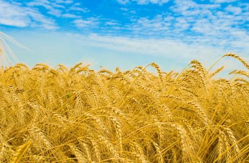 Канаду спасет супер-пшеница