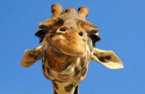 Миллион жирафов собран!