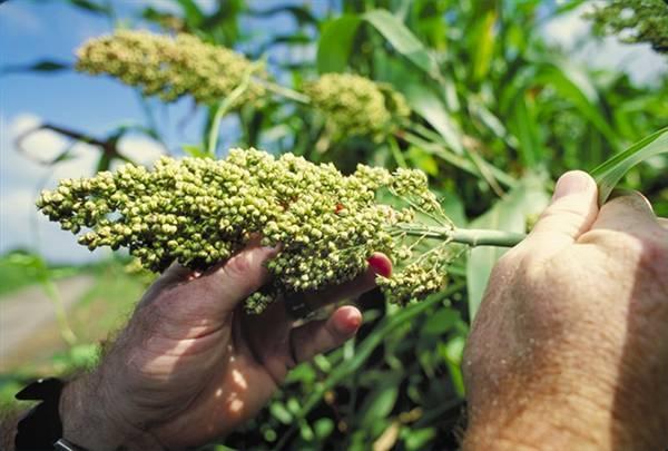 Еще один источник биотоплива