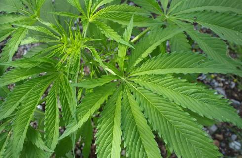 Они сказали марихуане Нет!