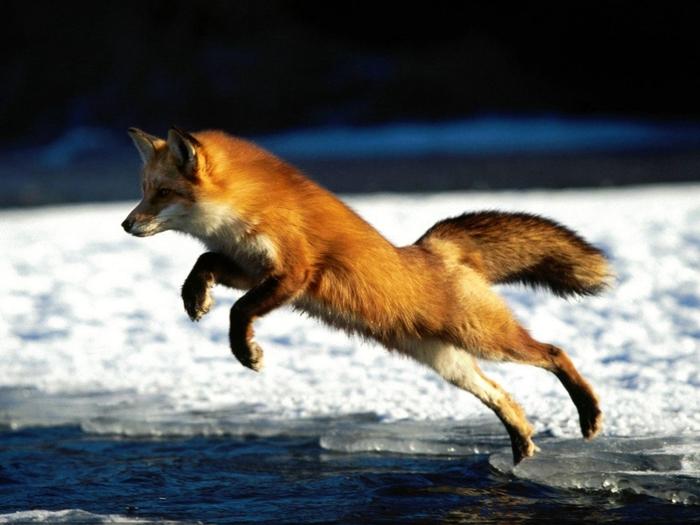 Когда-то лисы заменяли собак