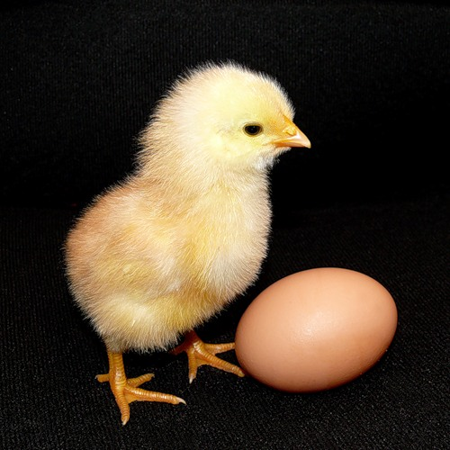 Курица или яйцо? Ответ найден!