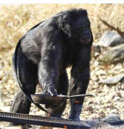Шимпанзе из Айовы сам разжигает огонь и готовит еду