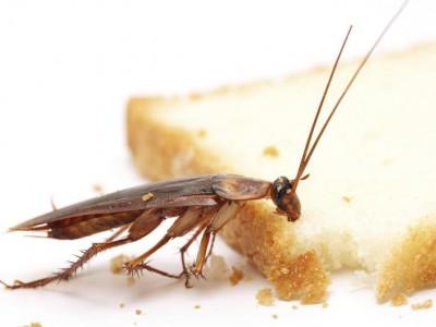 Обычный бытовой таракан влияет на экосистему всей планеты