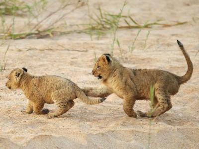 Львята играют
