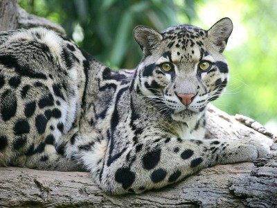 Дымчатый леопард с острова Суматра