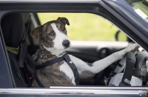Австралийские собаки за рулем