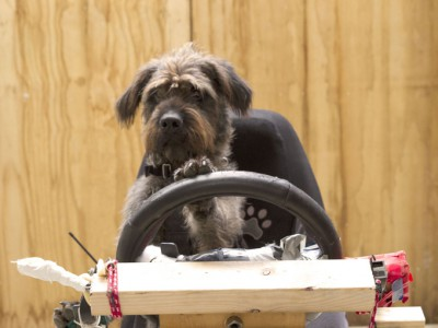 Собаки за рулем