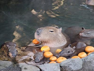 Капибары принимают ванну