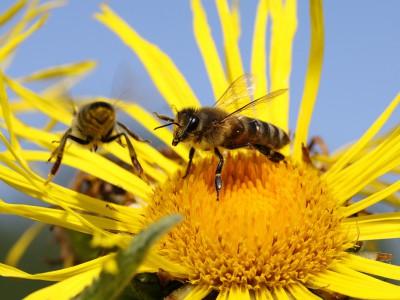 Пчелы Аргентины