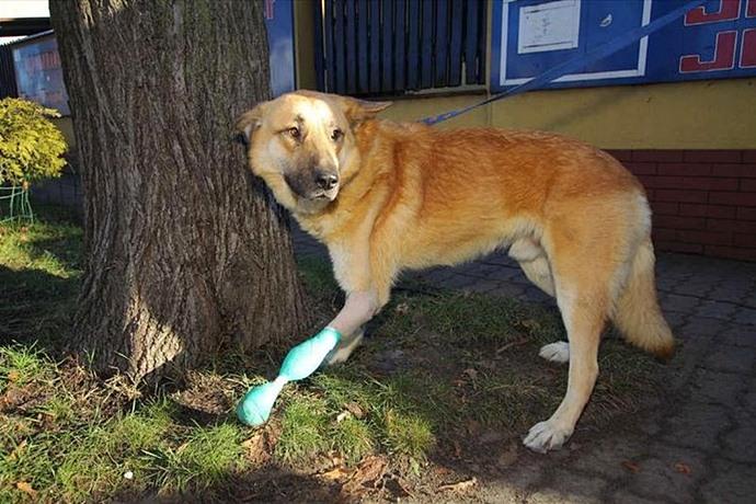Бездомный пес получил протез