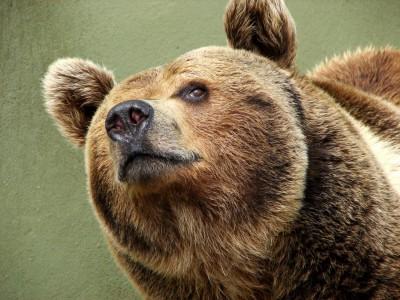 Бурый медведь скоро вернется в Беловежскую пущу