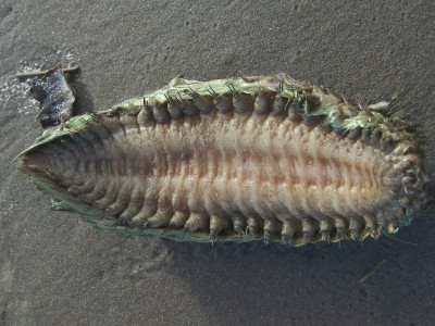 Морского червя приняли за инопланетянина
