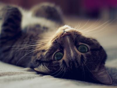 Кошка Виски
