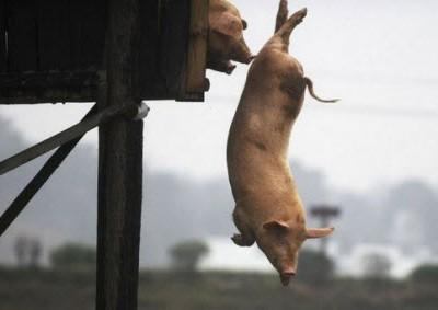 Свиная тренировка