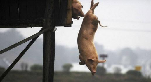 Тренированные свиньи вкуснее обычных
