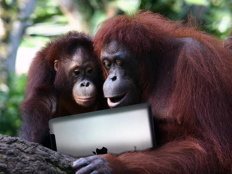 iPad поможет объединить орангутангов