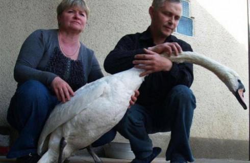 Лебедь вернулся зимовать к спасшему его человеку