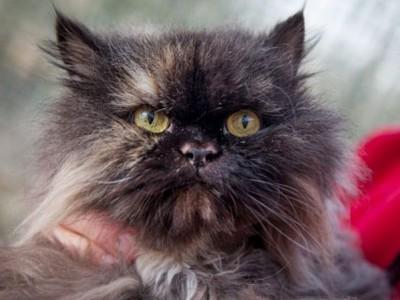 Удивительно путешествие персидской кошки