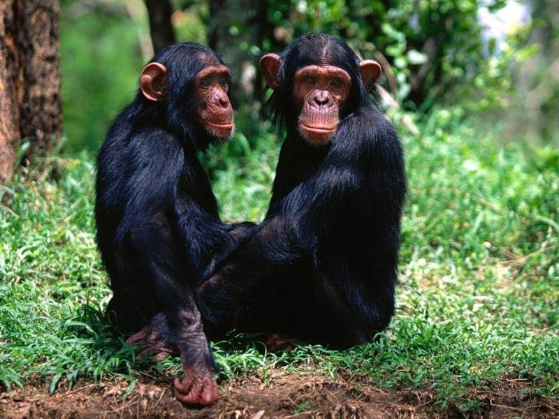 Шимпанзе любят интеллектуальную работу