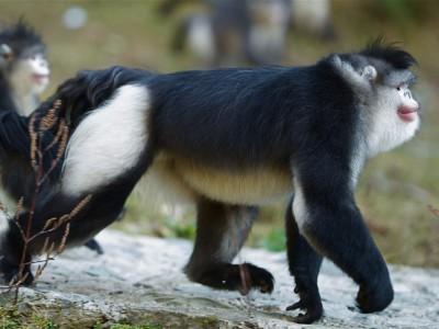 Чёрные ринопитеки помогают своим самкам при родах