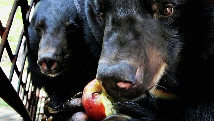 Пенсионеры Приморья растят гималайских медведей