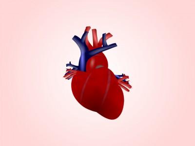 Ученые из Японии вырастили сердце из стволовых клеток