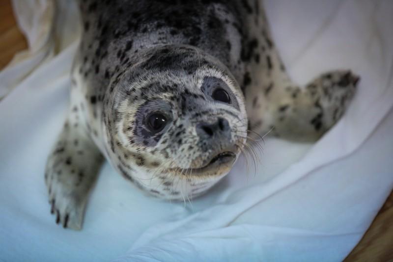 Семья в Приморье спасает тюленей