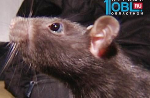 В Челябинске тренируют крысу-сапера