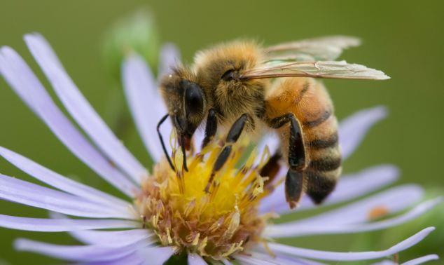 В Хорватии создали пчел-сапёров