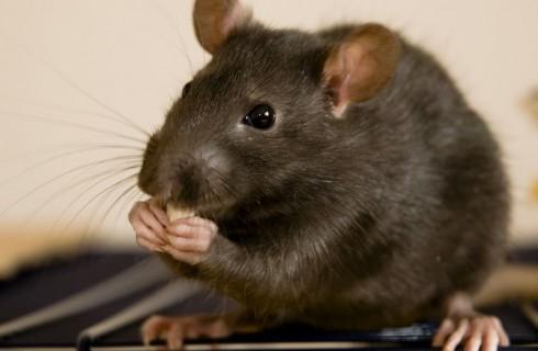 Ученые излечили от кокаиновой зависимости крыс-наркоманов