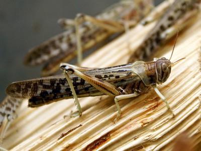 Голодающих накормят насекомыми