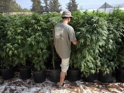 Грузия собирается дать добро марихуане