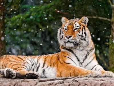 Хабаровскому краю выделят деньги на спасение тигров