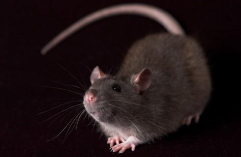 Крысы могут двигать глазами в разные стороны