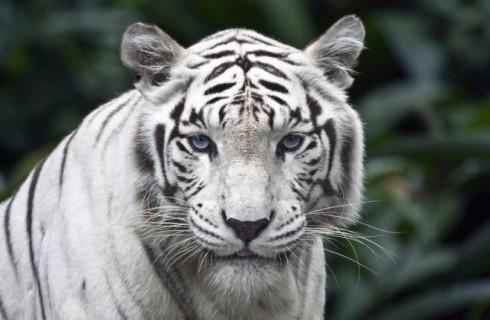 Секрет белых тигров раскрыт