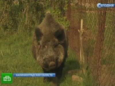 Свинья Маша обходит свою территорию