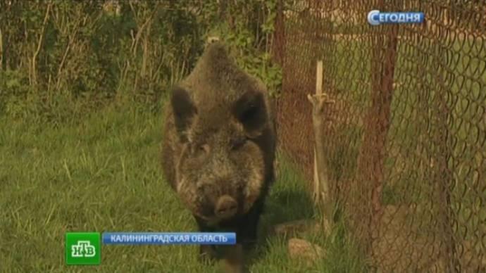 Дикая свинья на страже покоя хозяев