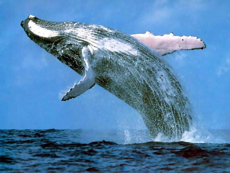 Зоологи нашли у китов культуру