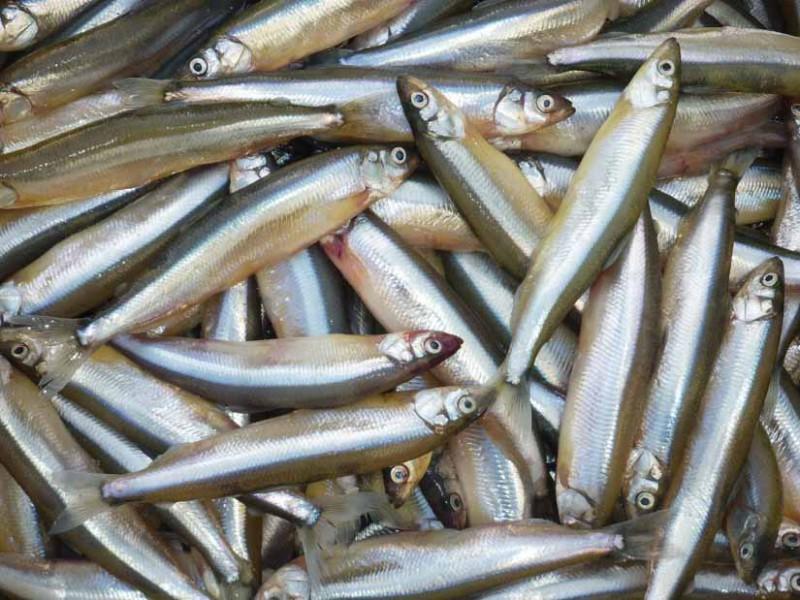 Возвращение блудной рыбы