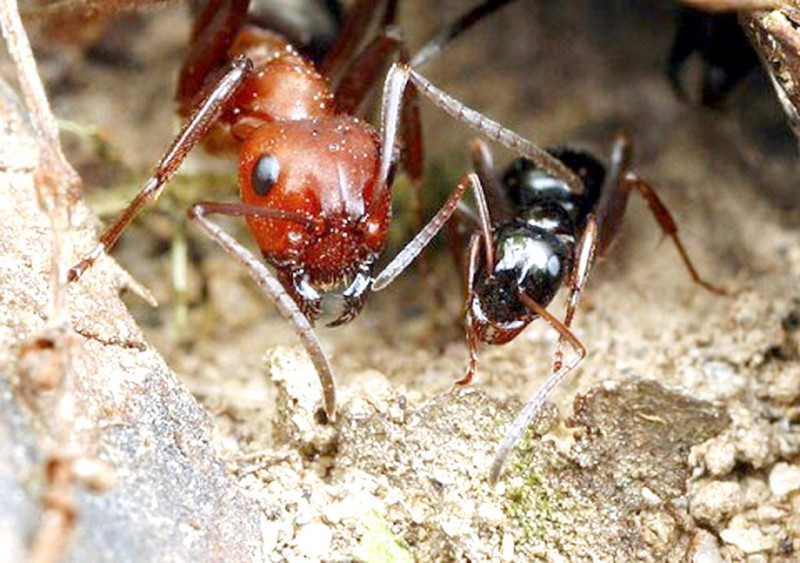 В США появились сумасшедшие муравьи