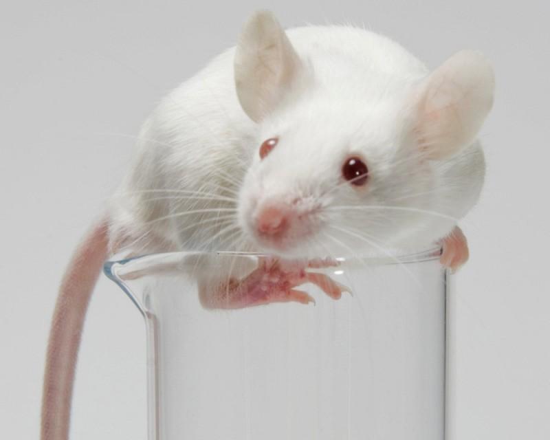 Японские ученые клонировали мышь из одной капли крови