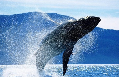 Влияние военных приборов на голубых китов