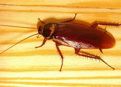Полтора миллиона тараканов выбрались на улицу