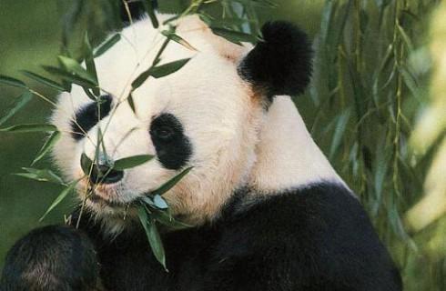 В Вашингтоне родилась панда
