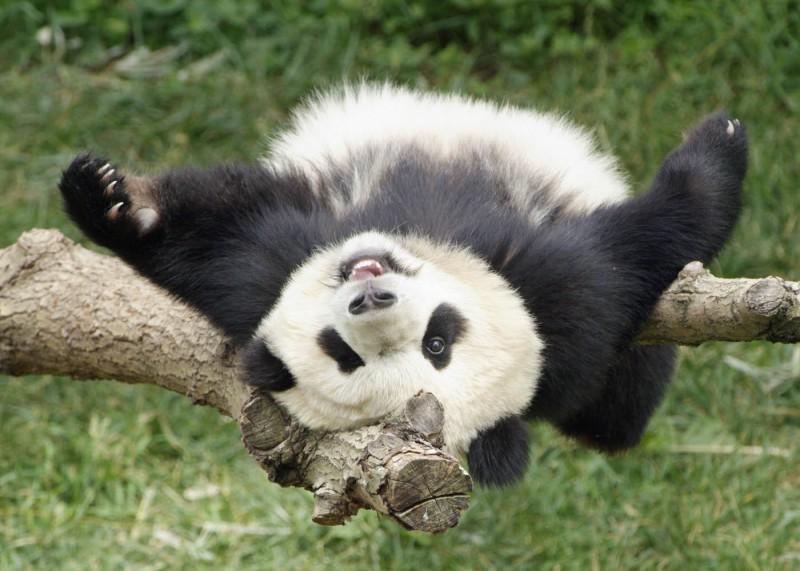 Биотопливо в подарок от панд