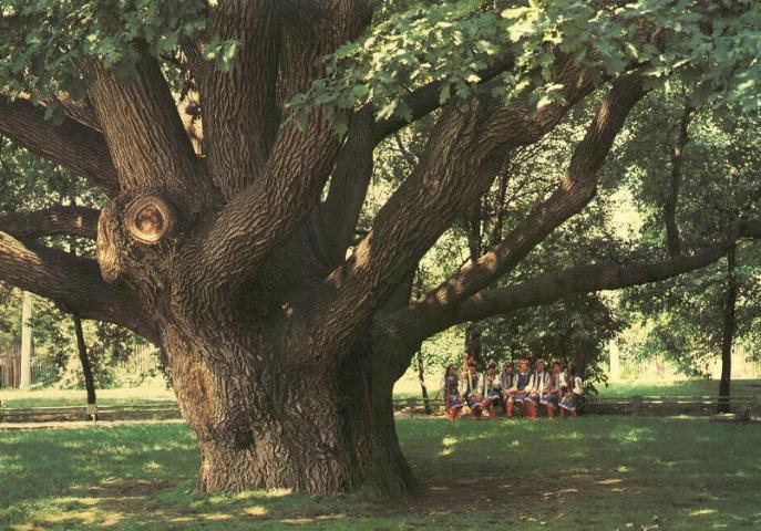 В Санкт-Петербурге появился еще один охраняемый дуб