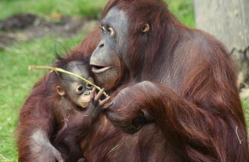Орангутаны сообщают сородичам свои планы